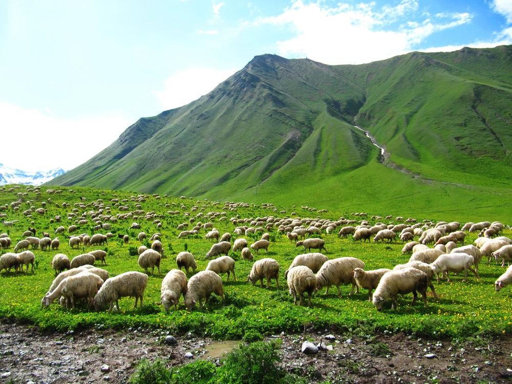 010 - Tisicihlava stada ovci v Gruzii