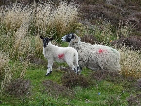 sheep-787206_640