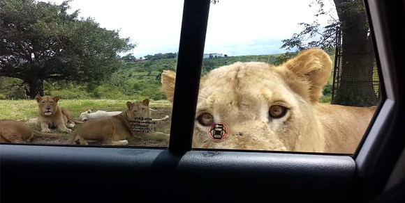 lion-opening-car-door