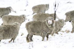 Tablelands Merino Wool Sheep